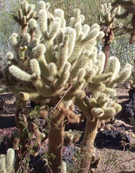 Teddy Bear Cholla: Unlike teddy bears or challah, this is <b>not</b> something you want to get close to!