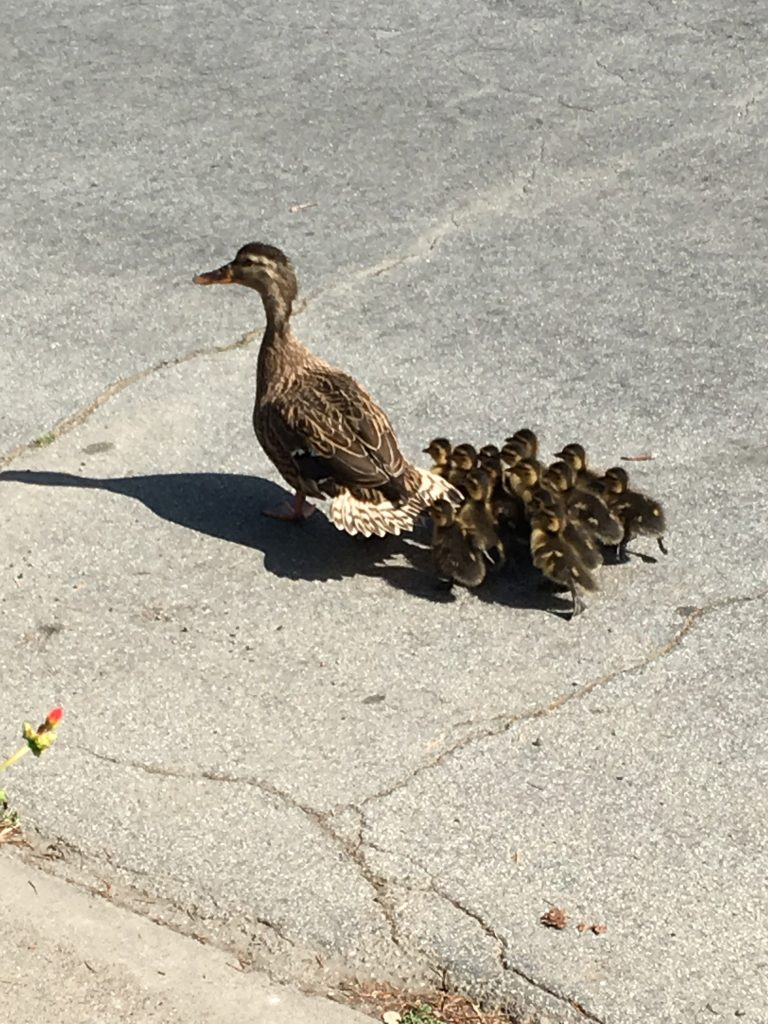 Ducklings on the move with mama duck